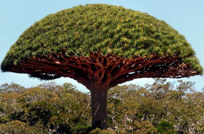 Árvore Croton lechleri