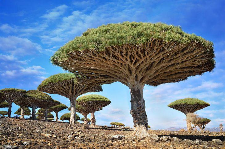 Sangue de dragão é a seiva da árvore Croton lechleri
