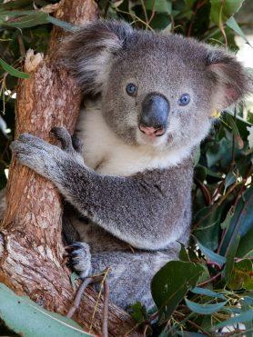 Lion-Leo o koala de olhos azuis