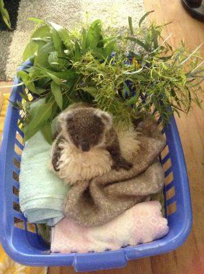 Myoora Jarra foi salva pelo hospital de koalas aos cinco meses
