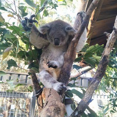 Ocean Summer é um koala residente e que foi apadrinhado pelo Celeiro Integral