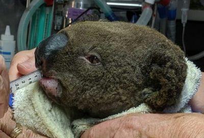 Paul foi o primeiro koala salvo no parque natural Lake Innes, afectado pelos incêndios na Austrália
